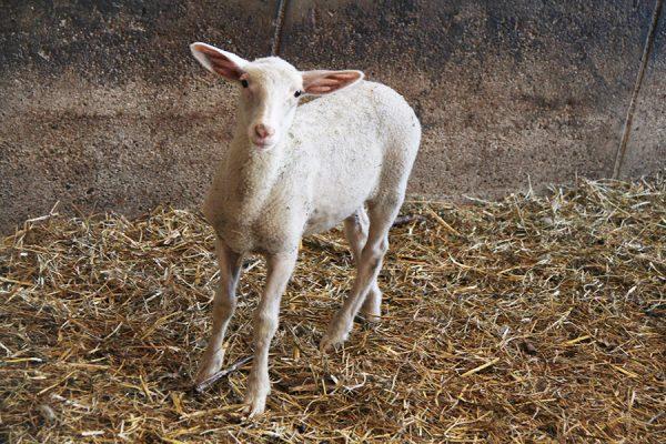 Lamm in der Schafzucht Hautzinger