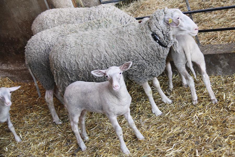 Lamm und Schafe in der Bioschafzucht Hautzinger