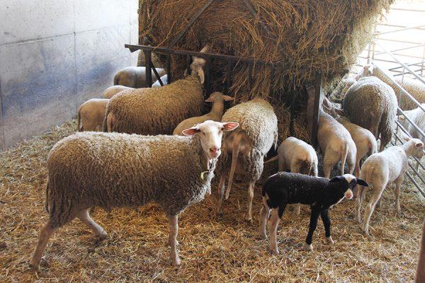 Schwarzes Lamm und Schafe in der Bioschafzucht Hautzinger