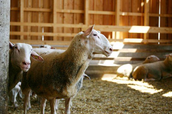 Schaf in der Bioschafzucht Hautzinger