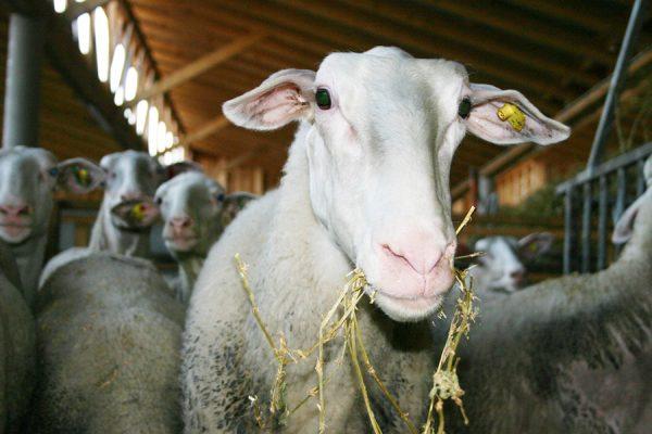 Hautzinger Schafe im Stall