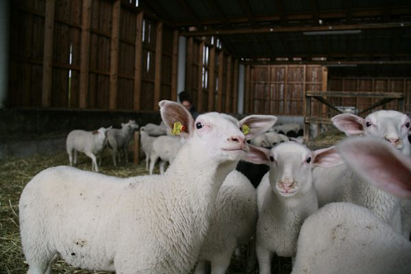 Schafe in der Bioschafzucht Hautzinger