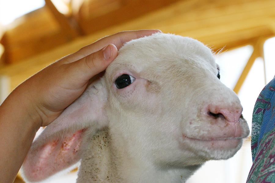 Babyschaf in der Schafzucht Hautzinger