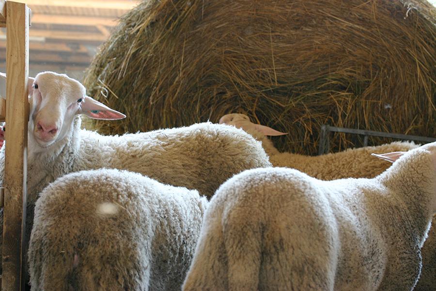 Schafe vor Heuballen in der Bioschafzucht Hautzinger