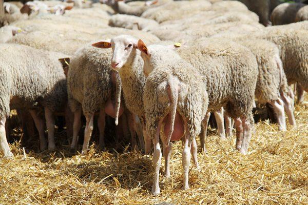 Schafe im Stroh in der Schafzucht Hautzinger